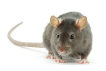 לוכד עכברים \ הדברת עכברים \ הדברת חולדות \ הדברת מכרסמים